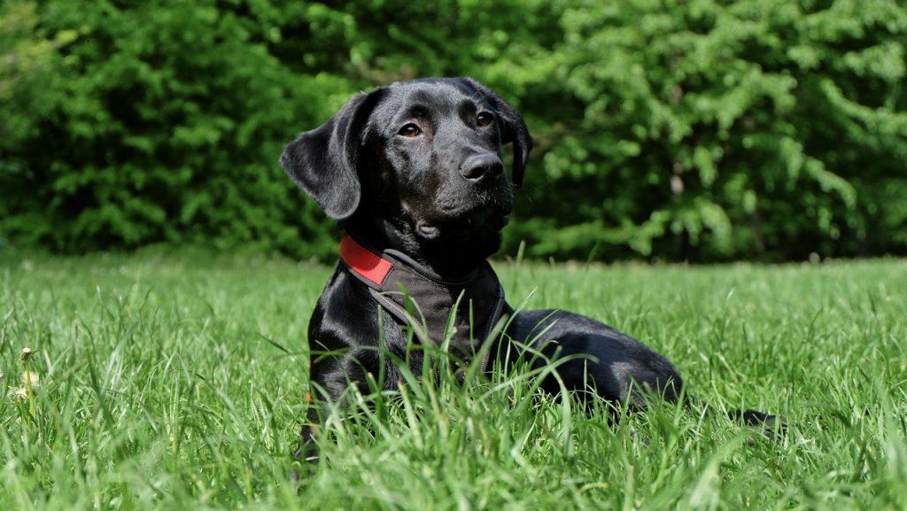Labradorer är vänliga och gladlynta